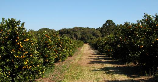 Fazenda-de-Laranjas-11-Pomar4
