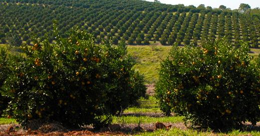 Fazenda de Laranjas 18 pomar11